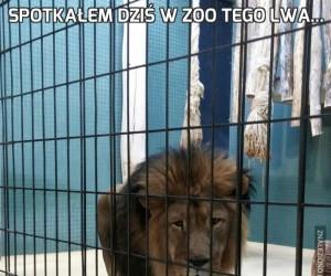 Spotkałem dziś w ZOO tego lwa...