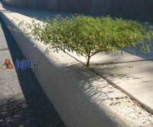 Drzewko bonsai na chodniku