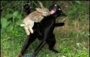 To nie jest zwykły królik!