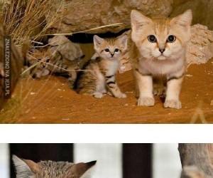Pustynne koty