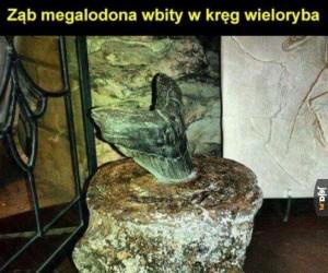 Ząb Megalodona wbity w krąg wieloryba