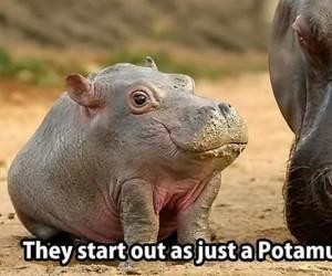 Potamus