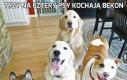 Trzy na cztery psy kochają bekon