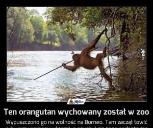 Ten orangutan wychowany został w zoo