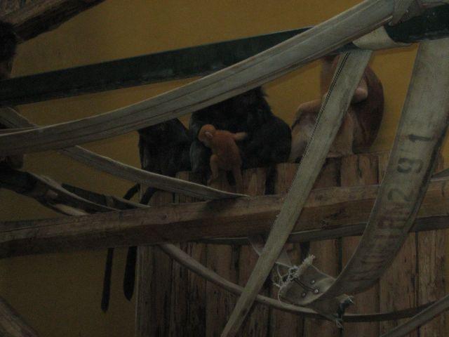 Ruda małpka