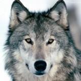 Avatar graywolf