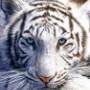 Avatar Panthera_Tigris_Altaica