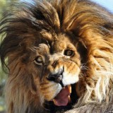 Avatar crazy_lion