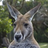 Avatar Kangaroo