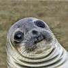 Avatar Seal_foka