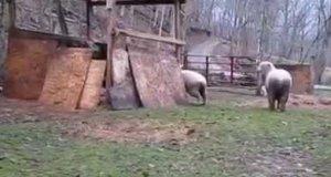 Owca, który myśli, że jest psem