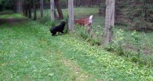 Jeleń i rottweiler wspólnie biegają