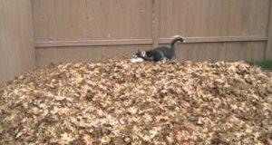 Husky, który kocha zabawę w liściach