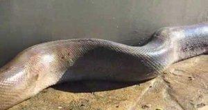 Ogromny, martwy wąż