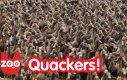 Farmer i 5000 kaczek