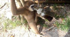 Małpka w Zoo zabrała Coca-Colę i delektuje się smakiem