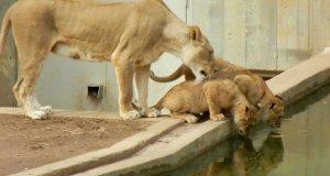 Małe lwiątko zmuszone do kąpieli