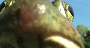 Żaba o kocim głosie