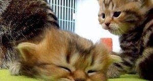 Zbyt śpiący kotek