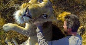 Facet tarza się z lwami na sawannie