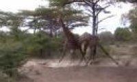 Wojna żyraf