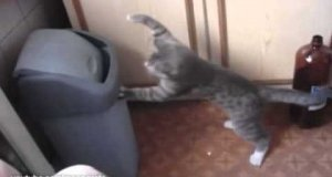 Boksujący kot