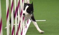 Mistrz szybkości na psich zawodach. Serio, ten pies wymiata.