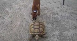Pies vs żółw