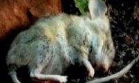 Rozkład myszy