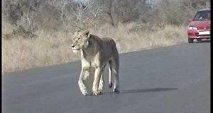 Uliczna lwica