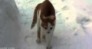 Koci drapieżnik