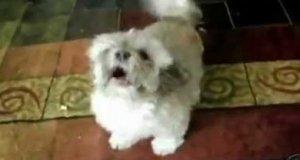 Lamentujący pies