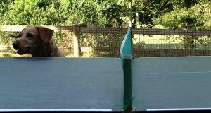 Nadpobudliwy pies obserwuje mecz ping-pongowy