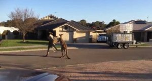 Uliczna bójka kangurów