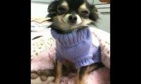 Pies w swetrze