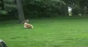 Lis krzyczy na swojego przyjaciela psa