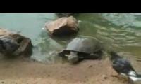 Żółwie to okrutne istoty