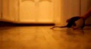 Szczur, który myśli że jest psem