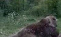 Groźny niedźwiedź