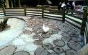 Świnka wietnamska w polskim zoo
