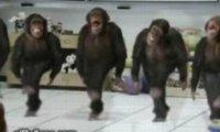 Tańczące szympansy