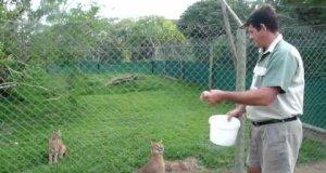 Koty skaczą ponad płot w ZOO