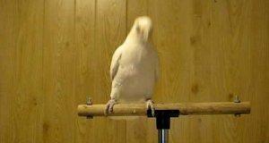 Papuga w You can dance