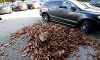 Pies radośnie nurkuje w stercie liści