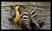Zebra topi Lwicę