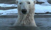 Podglądanie niedźwiedzi polarnych
