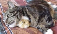 Słodkość do kwadratu - kaczuszka śpi pod szyją kota