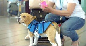 Psi pracownik lotniska, który szuka właścicieli zaginionych rzeczy