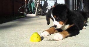 Pies szaleje od smaku cytryny