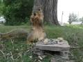Bardzo niewyżyta wiewiórka. Proszę oglądać do końca.
